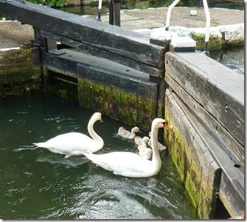 2 swans in sturts lock