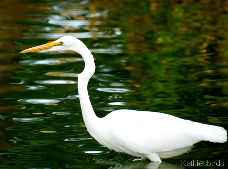 1. Great egret Fort Lowell Park, AZ-kab