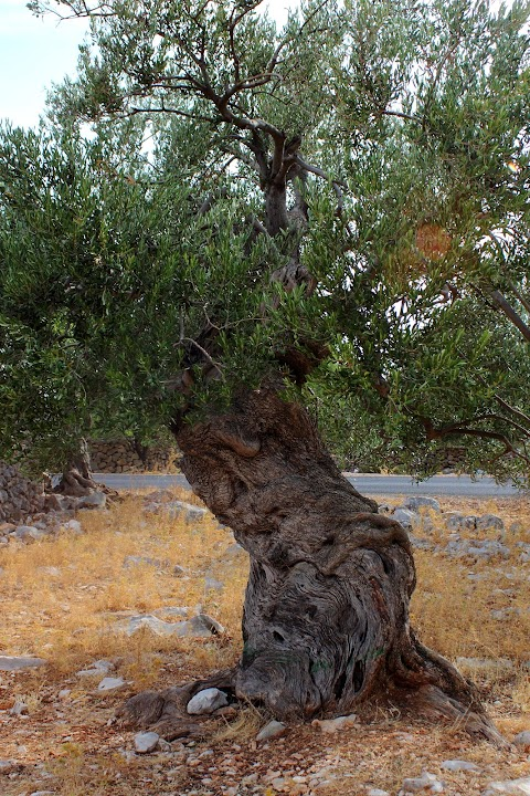 The Olive trees of Lun, Croatia