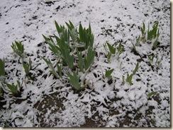 shivering iris