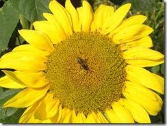 včely na květu a matečniky 195