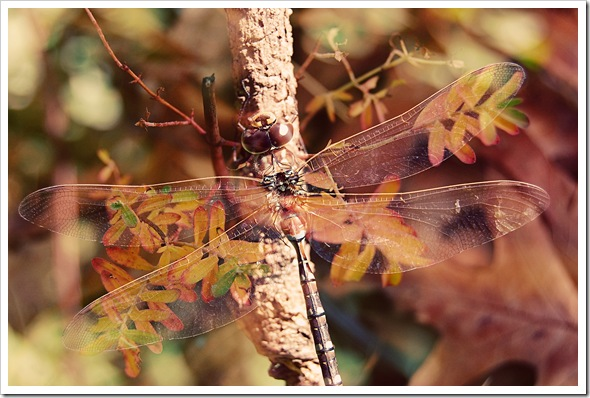 AUTUMN LEAF DRAGONFLY a