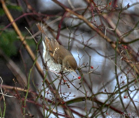 18. 1-18-15 hermit thrush-kab