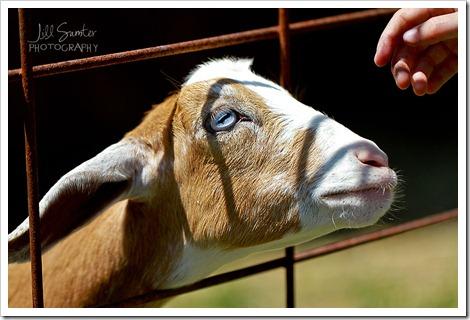 goats-5659