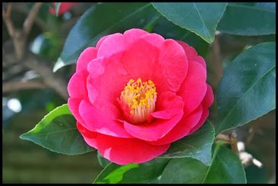 Camellia-Covina