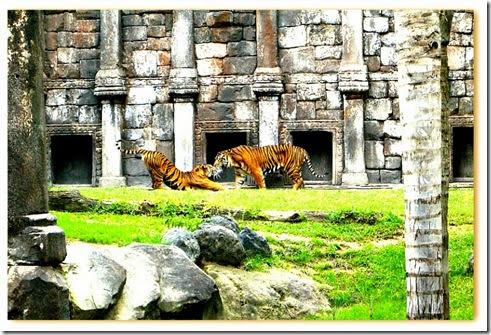 imagem de dois tigres de Sumatra no habitat recriando o Sudeste Asiático do Bioparc de Fuengirola, Espanha