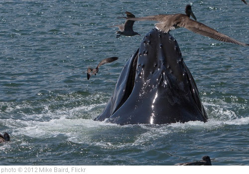 'Humpback Whale (Megaptera novaeangliae) lunge feeding' photo (c) 2012, Mike Baird - license: https://creativecommons.org/licenses/by/2.0/