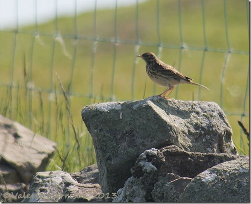 63-meadow-pipit