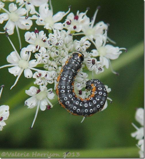 32-depressria-daucella-caterpillar