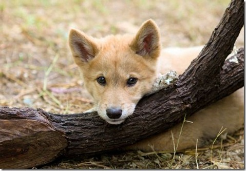 dingo pup