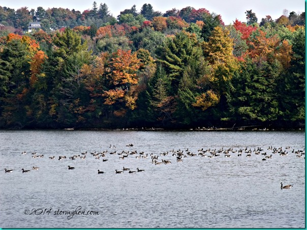geese and autumn color
