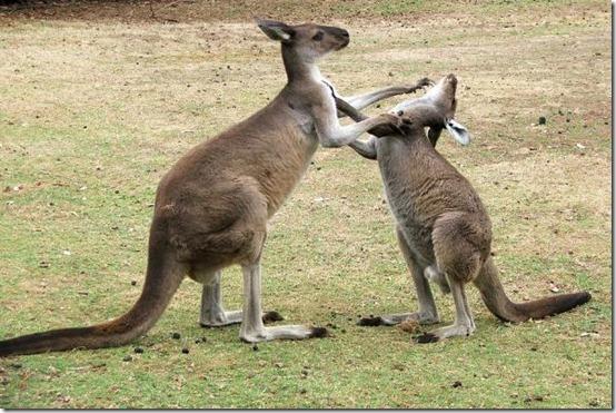 bigstockAnimal-Kangaroo