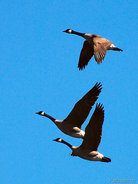 20. geese-kab