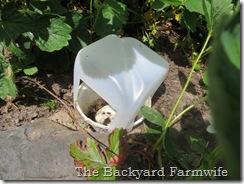 slug bait cover - The Backyard Farmwife