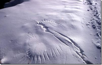 Raven Wing Prints In Snow. Mark Marschall - 1979 - Public domain image.