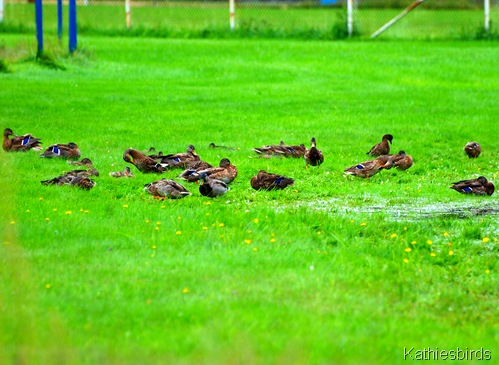 14. duck flock-kab