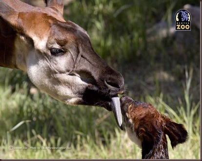 Amazing Animal Pictures Okapi (3)