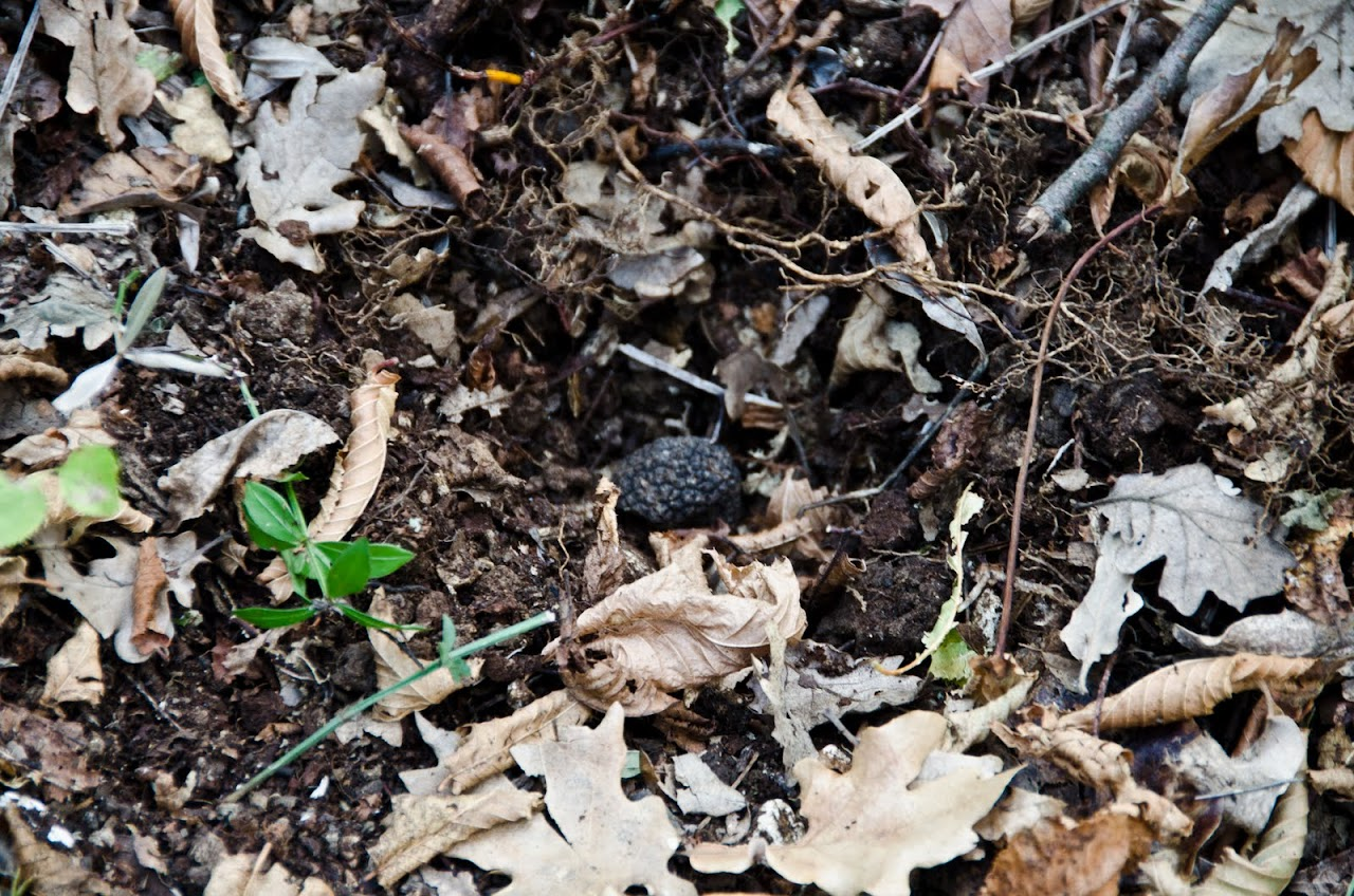 Truffle in the soil