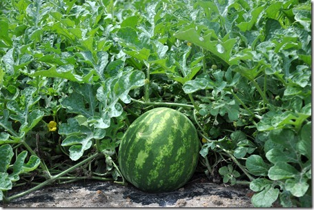 watermelons coming on 051412 (1)