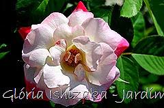 15  - Glória Ishizaka - Rosas do Jardim Botânico Nagai - Osaka