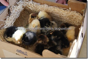 Mail order baby chickens