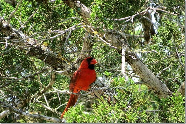 Cardinal_Watching