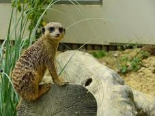 2014.07.19-018 suricate