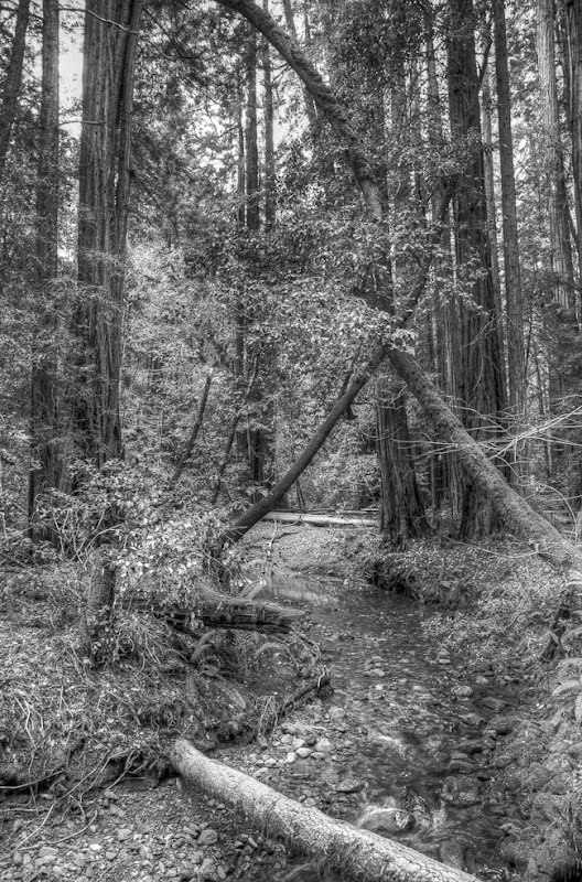 Muir Woods Black and White-1