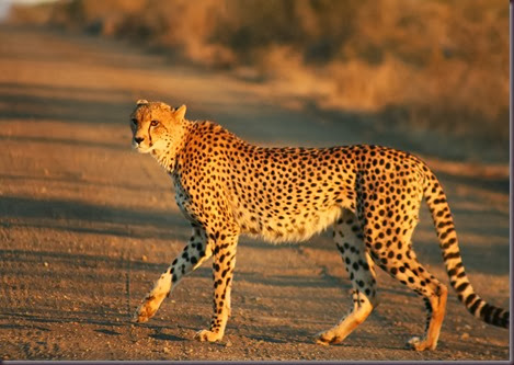 Amazing Animal Pictures Cheetah (5)