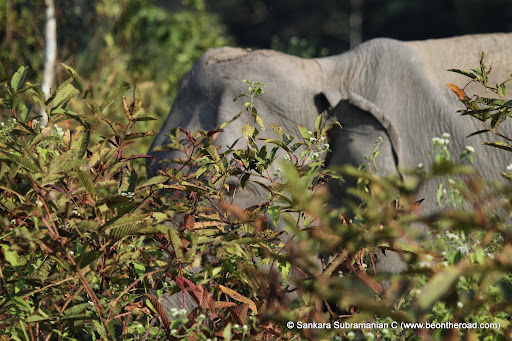 Wild elephant up close at Nameri National Park, Assam, India - 1
