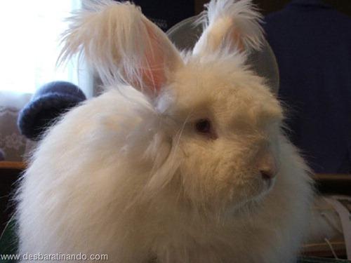 coelho angora peludo desbaratinando (10)