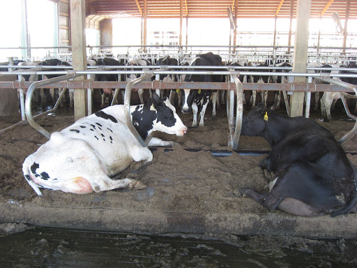 Cows on Dried Manure Solid bedding