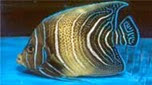 Nouvelle-Calédonie poisson-ange à demi-cercle