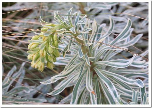 130225_Euphorbia-characias-Glacier-Blue_05