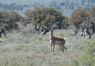 the pronghorn are fawning, so most moms are hidden