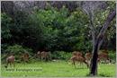 _P6A2069_cheetal_chital_deer_mudumalai_bandipur_sanctuary