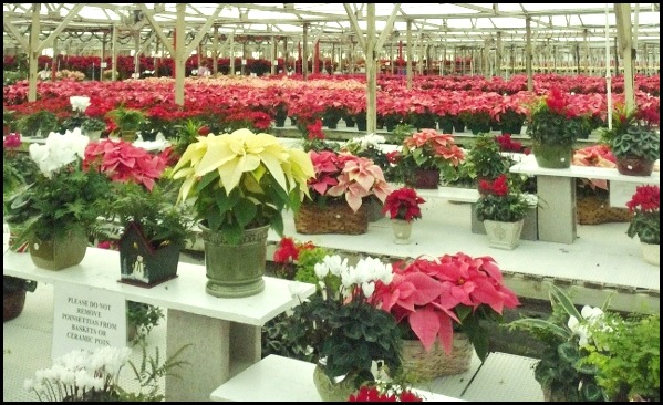 poinsettia farm2011 009 (600x800)