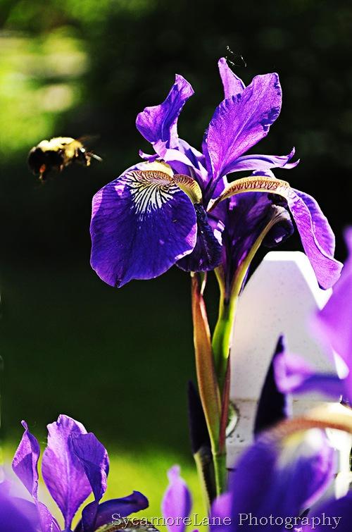 iris and bee-w