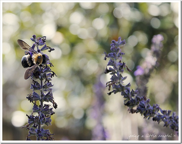 bee salvia copy