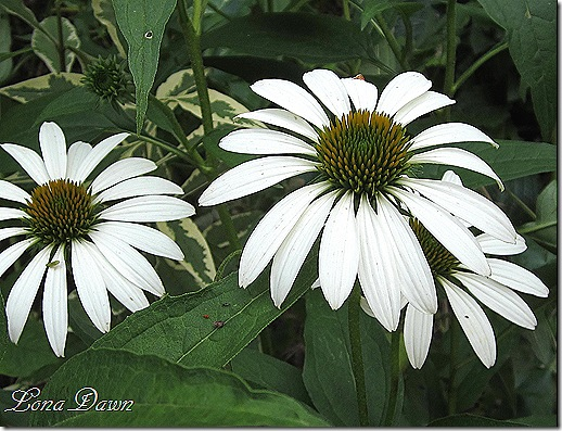 Echinacea_Lucky_Star_July2