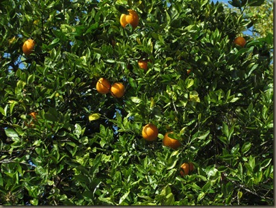 Florida oranges heading towards Three Sisters Spring