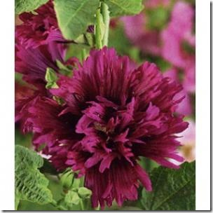 300x300_Alcea Queeny Purple