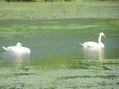 bog swans swimming in lily pads4