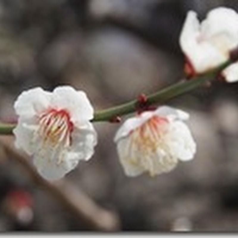 大阪城公園 梅林 2014(35種類の梅花)