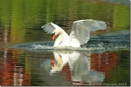 12-swan