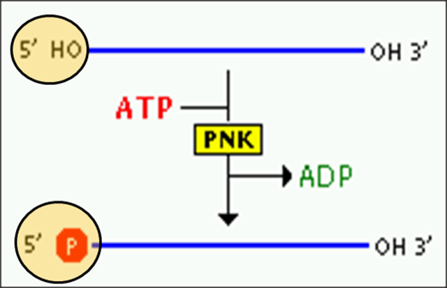 Polynucleotide kinase in rDNA technology
