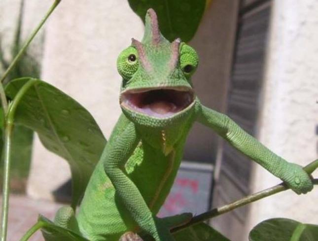 Camaleon con los ojos cruzados