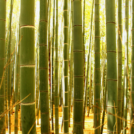 Bamboo Line Up by Julie Ddin - Landscapes Forests ( bamboo, autumn, green, forest, arashiyama,  )