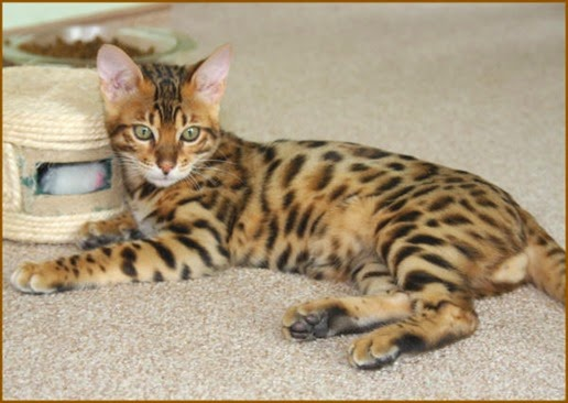 Amazing Pictures of Animals, Photo, Nature, Incredibel, Funny, Zoo,  Savannah cat,  domestic hybrid cat, Alex (2)