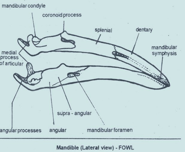 mandible-bird-fowl